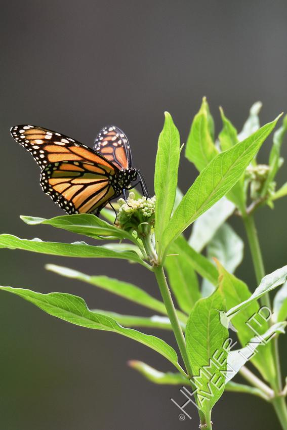 Monarch laying eggs on Marsh Milkweed (Asclepias incarnata) 7-28-18