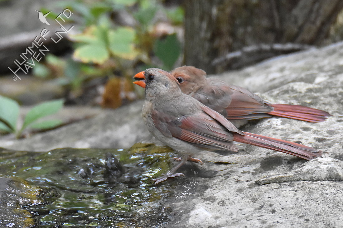 Northern Cardinals 7-24-18