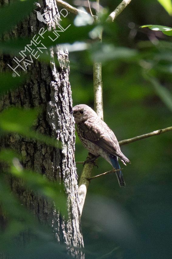Eastern Bluebird juvenile 8-9-18