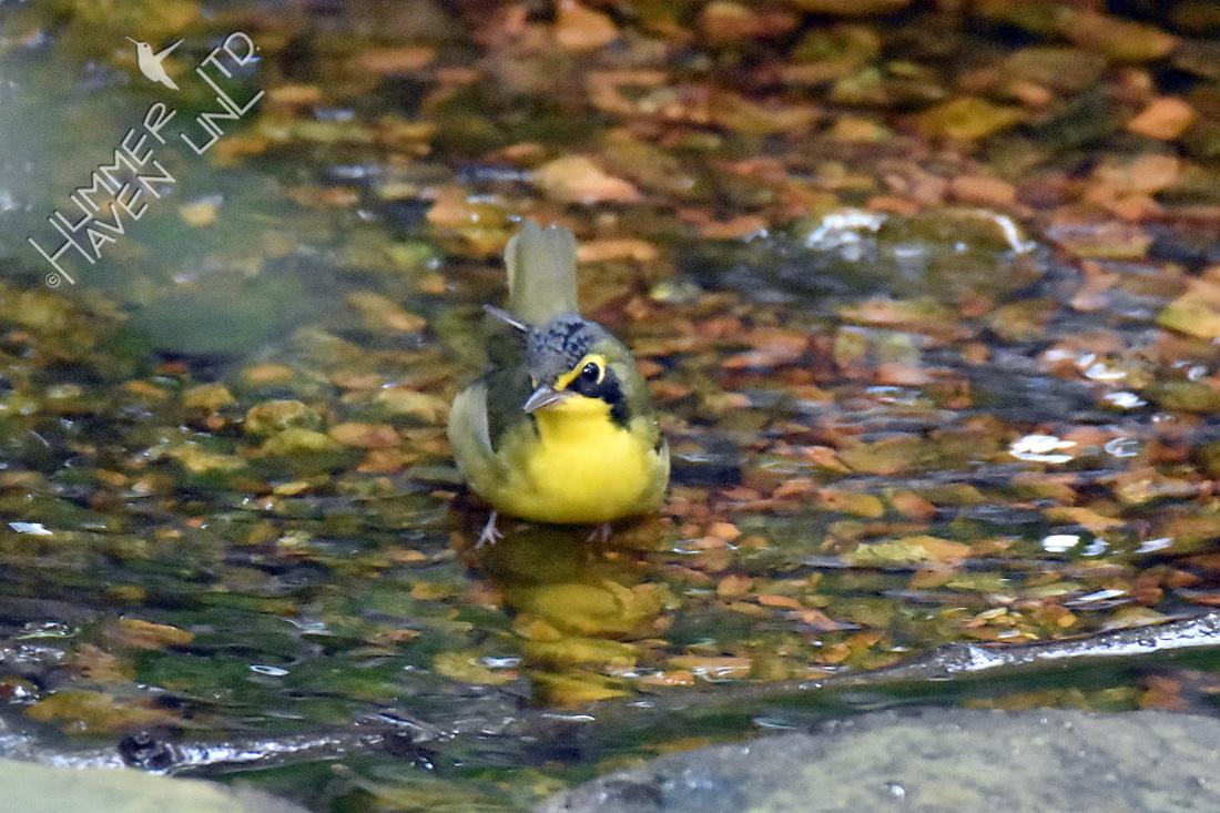 Kentucky Warbler 8-9-18