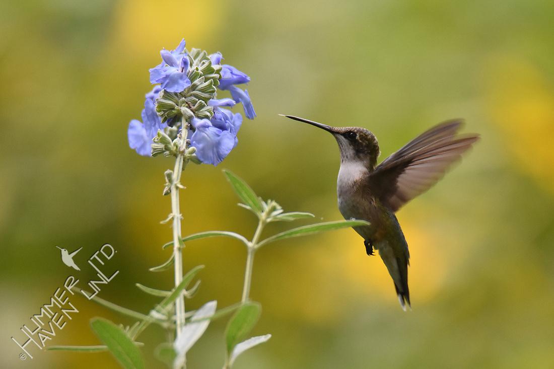 Ruby-throated Hummingbird at Azure Sage (Salvia azurea) 8-14-18