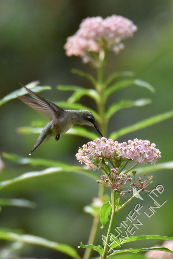 Ruby-throated Hummingbird at Marsh Milkweed (Asclepias incarnata) 8-14-18