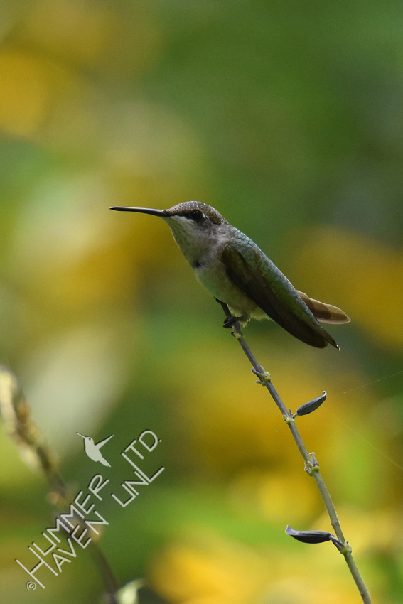 Ruby-throated Hummingbird rests on stalk 8-14-18