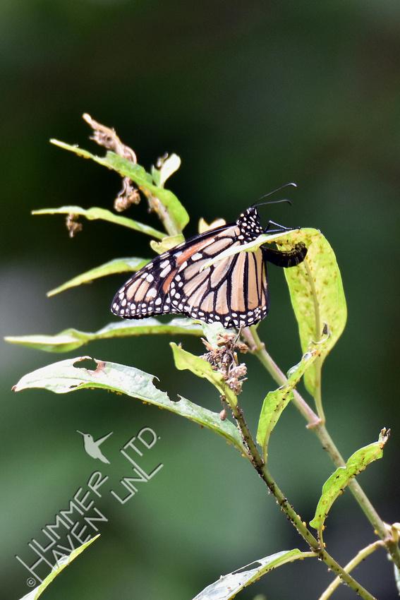 Monarch female laying eggs on Marsh Milkweed (Asclepias incarnata) 8-14-18