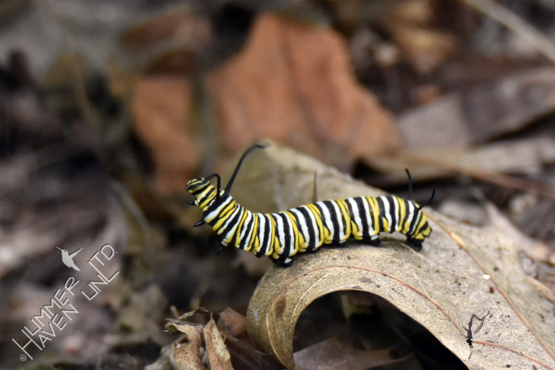 Monarch caterpillar crawling to hydrangea to pupate 8-14-18