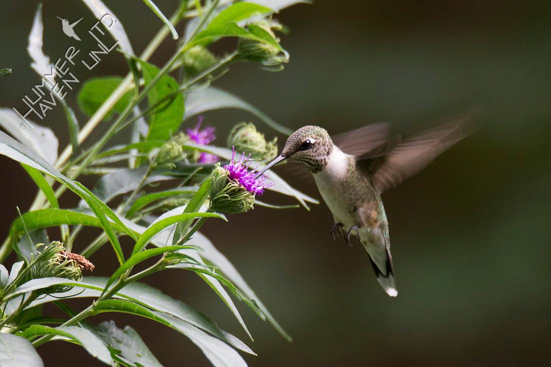 Ruby-throated Hummingbird at Ironweed (Vernonia arkansana) 8-14-18