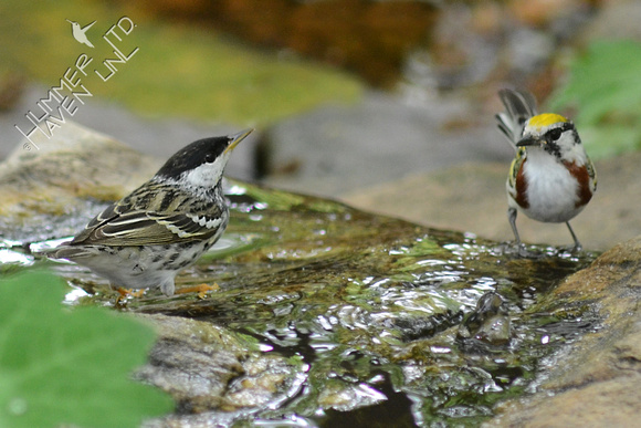 Blackpoll and Chestnut-sided Warblers