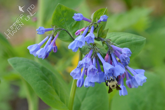 Bumblebee at Virginia Bluebells