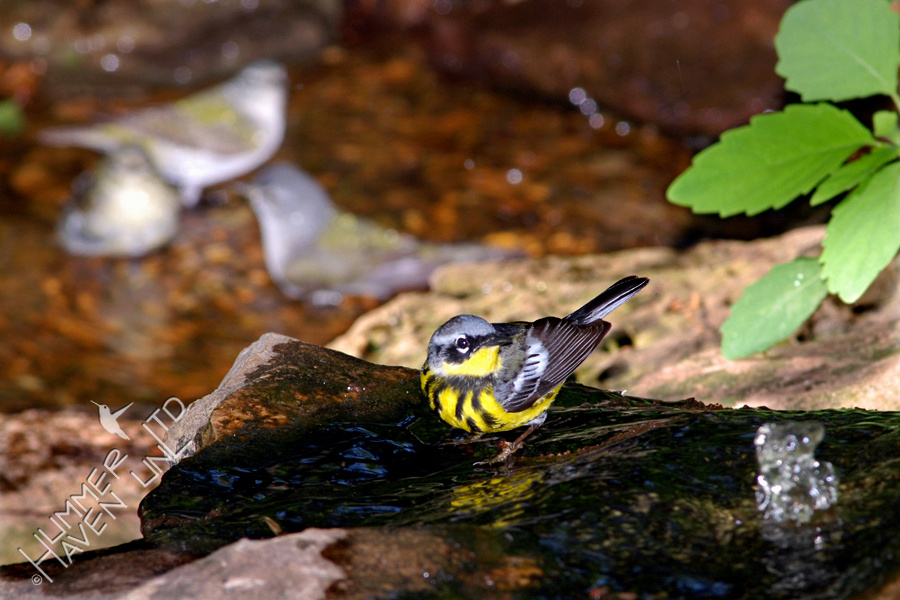 Magnolia Warbler on Bubbler rock and 3 Tennessee Warblers in Basin 5-21-08