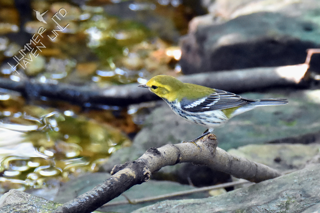 Black-throated Green Warbler 9-1-16
