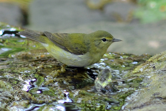 Tennessee Warbler female