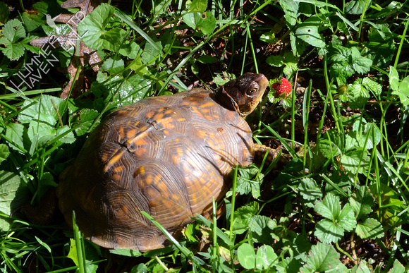 Three-toed Box Turtle, female