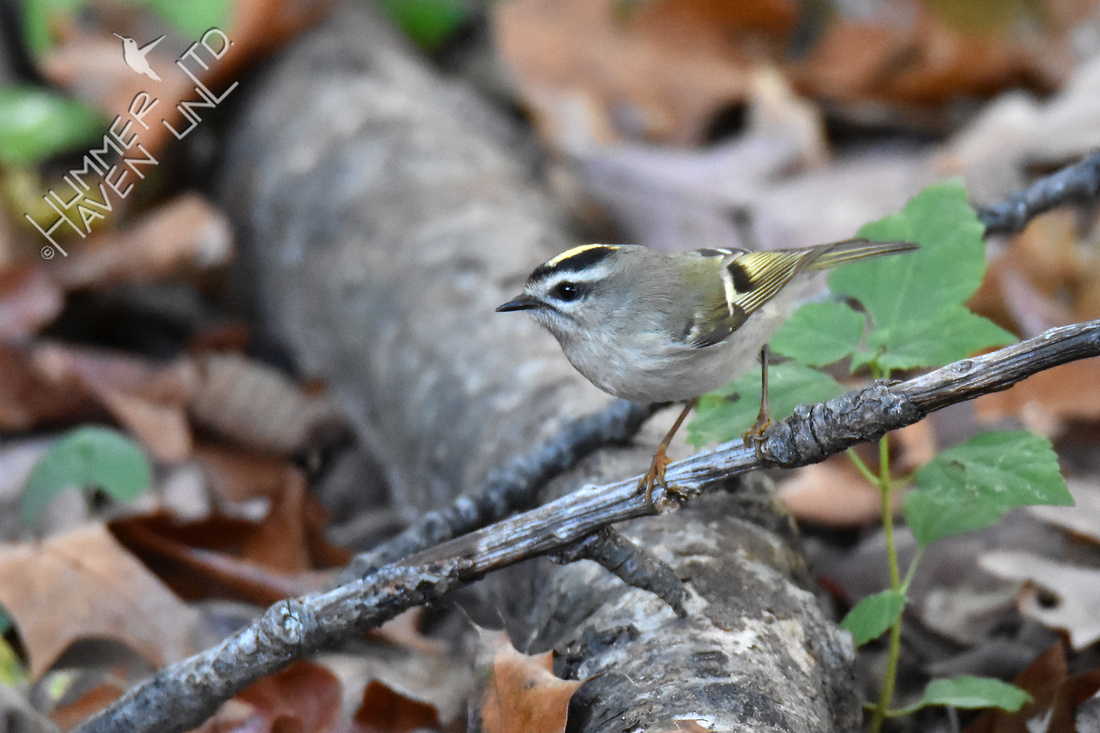 Golden-crowned Kinglet 10-25-16