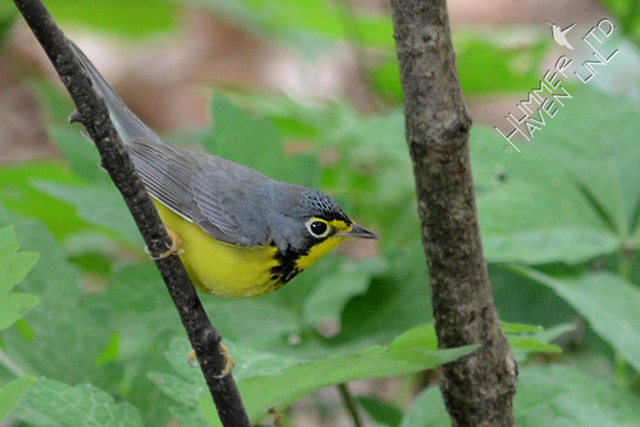 Canada Warbler, first spring male