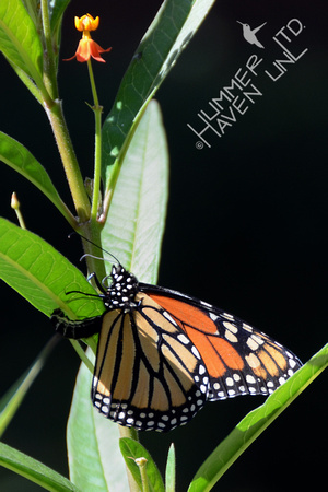 Monarch laying egg on Asclepias curassavica 10-23-11