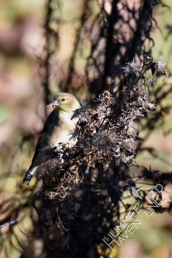 American Goldfinch eating seeds of Eastern Blazingstar (Liatris scariosa) 11-6-16