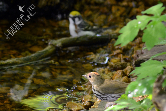 Chestnut-sided and Ovenbird