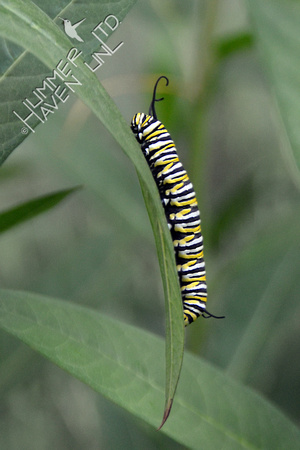 Monarch caterpillar on Marsh Milkweed (Asclepias incarnata)