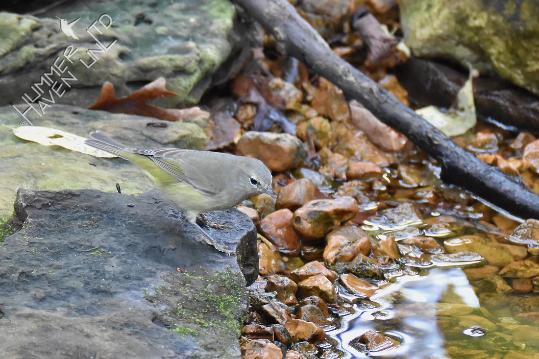 Orange-crowned Warbler 11-2-16