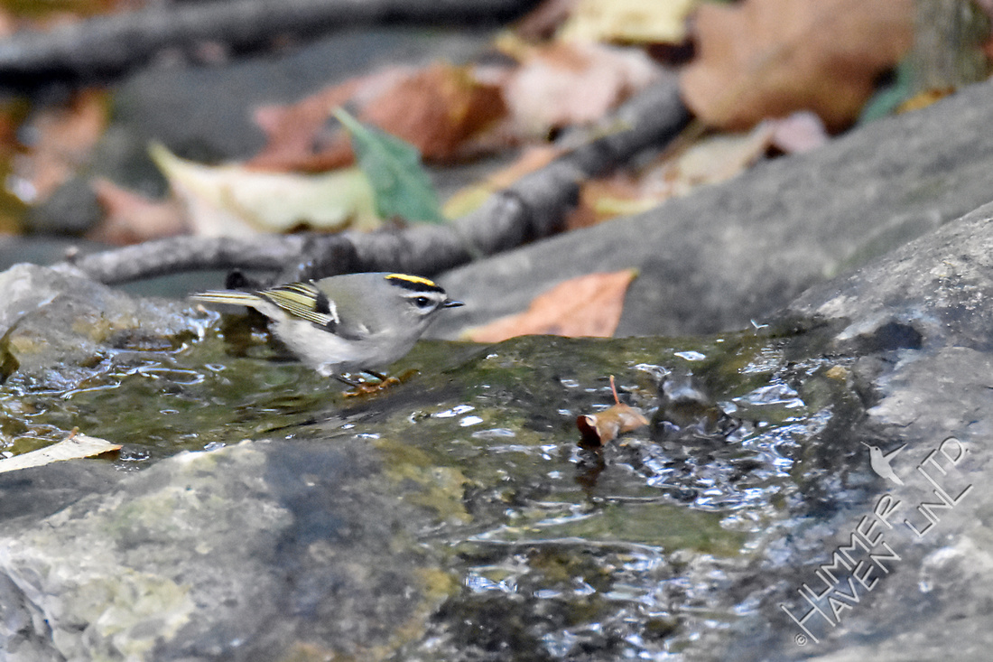 Golden-crowned Kinglet 10-20-16