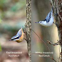 Red-breasted and White-breasted Nuthatches 1-24-17