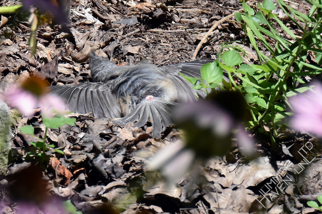 Tufted Titmouse sunbathing in garden cover 7-30-17