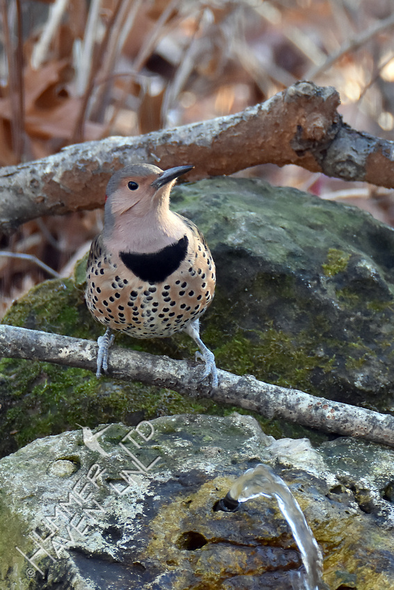 Northern Flicker female  12-10-17