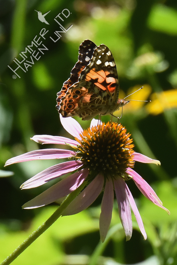 Painted Lady (uncommon) on Purple Coneflower (Echinacea purpurea) 7-30-17