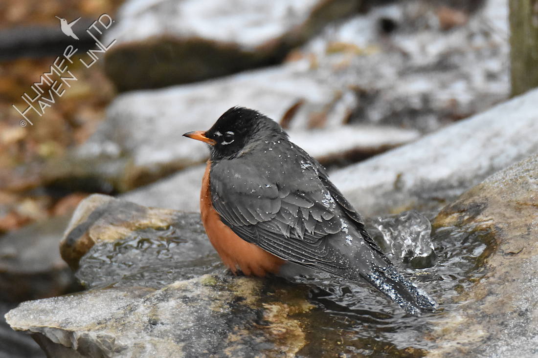 American Robin with icy tail 2-11-18