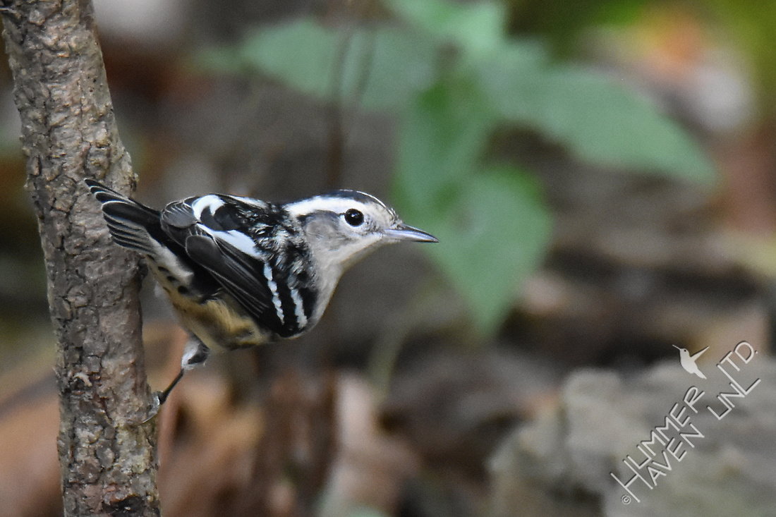 Black and White Warbler female 9-21-17