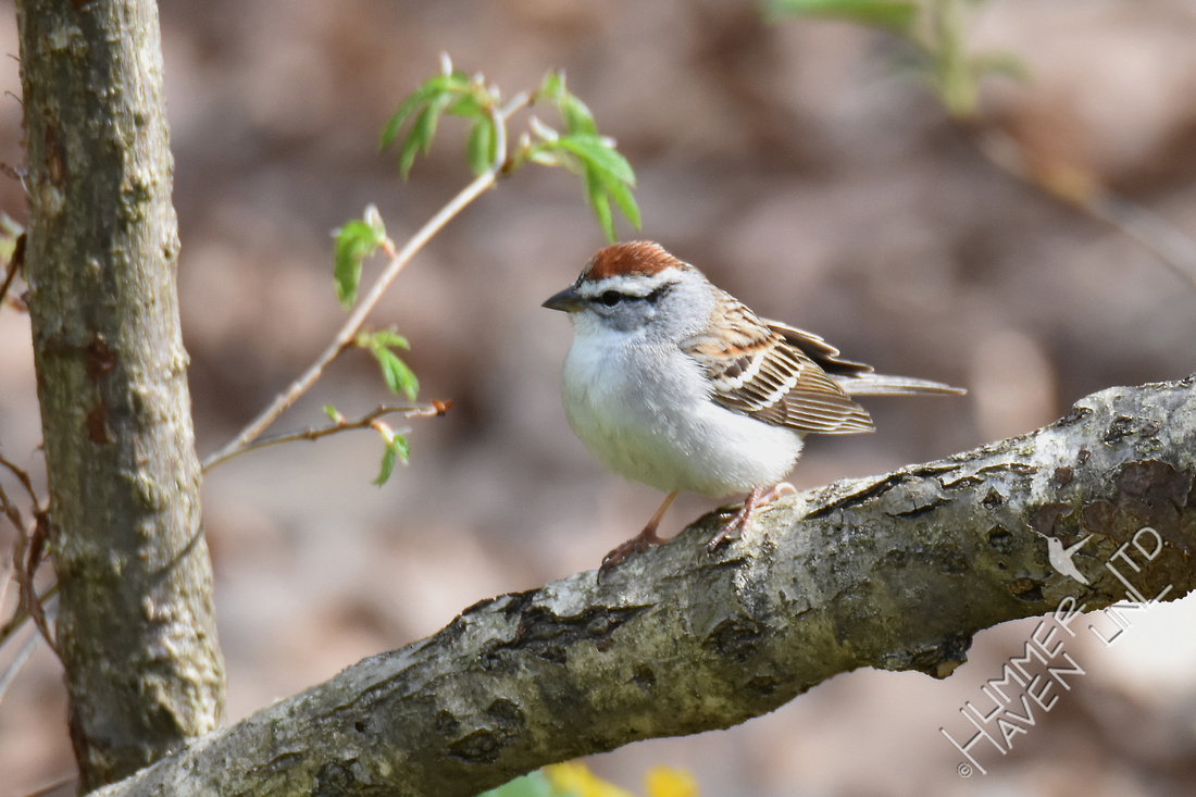 Chipping Sparrow 4-12-17