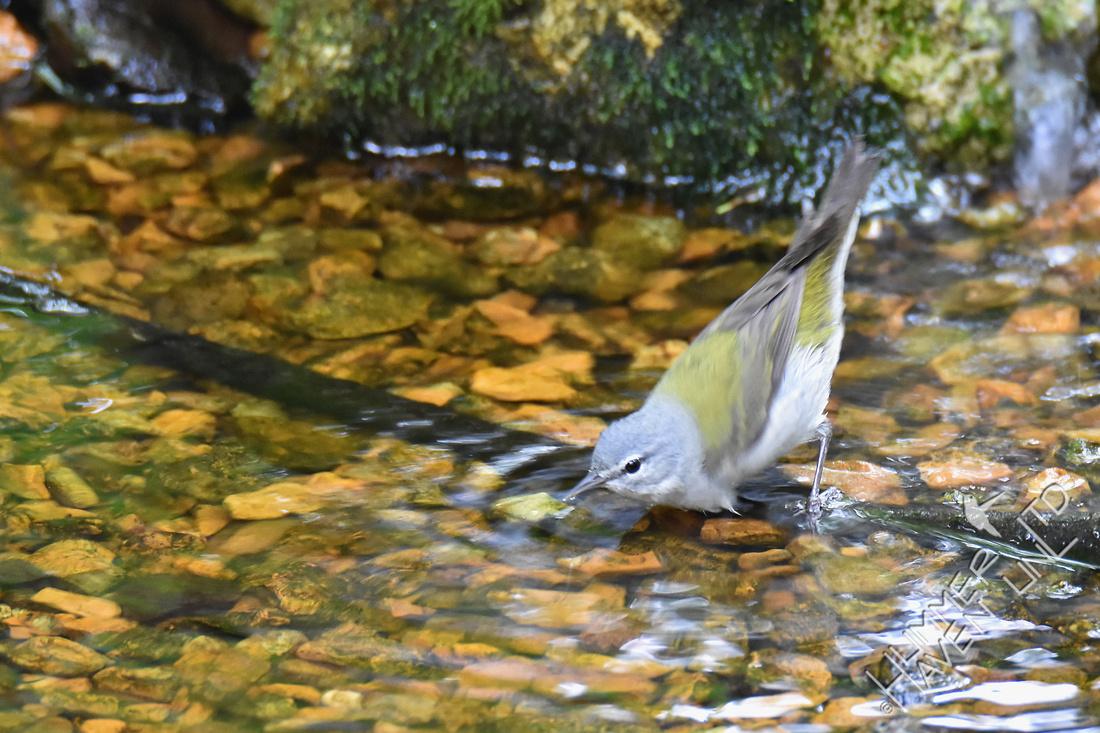 Tennessee Warbler 5-10-17
