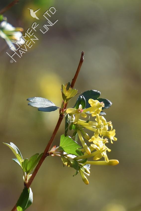 Golden Currant (Ribes odoratum) in bloom 3-9-17