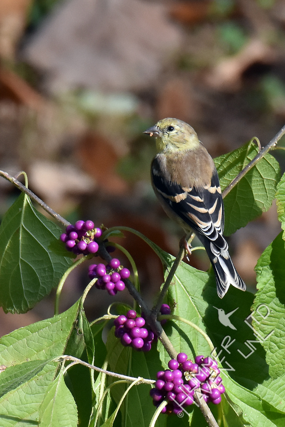 American Goldfinch eating American Beautyberry (Callicarpa americana) 11-2-17