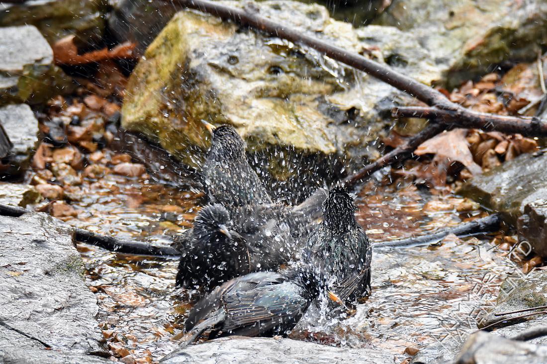 European Starlings 1-11-17
