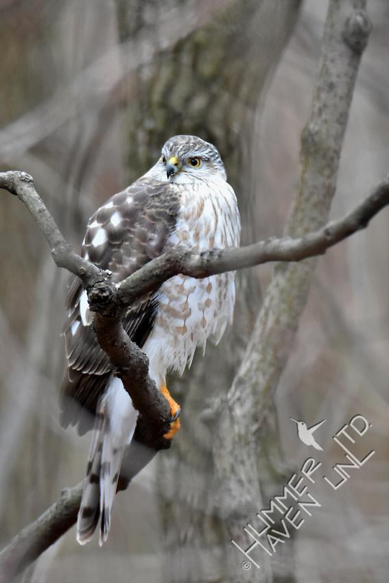 Sharp-shinned Hawk 1-27-17