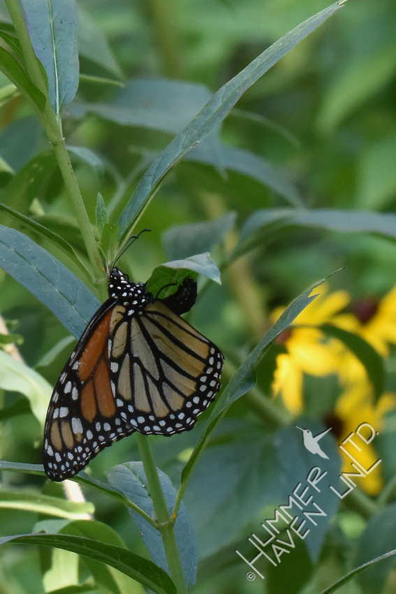 Monarch laying eggs on Marsh Milkweed (Asclepias incarnata) 8-21-17