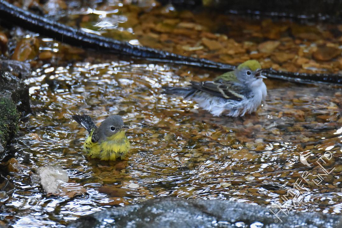 Magnolia Warbler  and Chestnut-sided Warbler 9-23-17