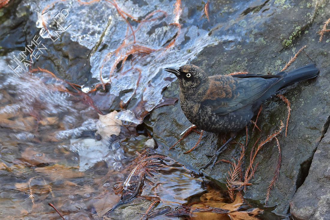 Rusty Blackbird  12-8-17