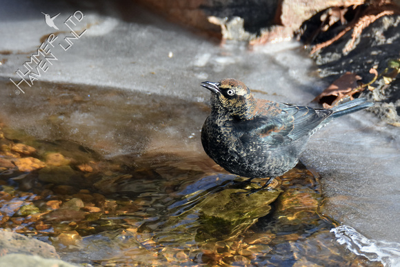 Rusty Blackbird 1-1-18