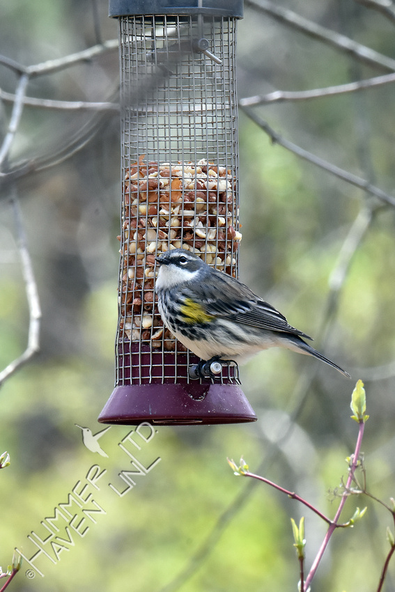 Yellow-rumped Warbler 4-20-18