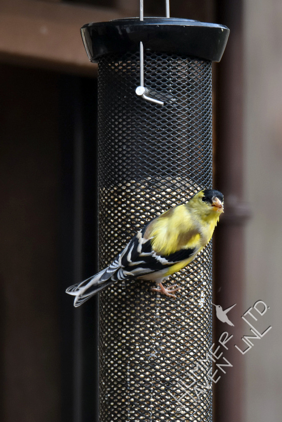 American Goldfinch 3-8-17
