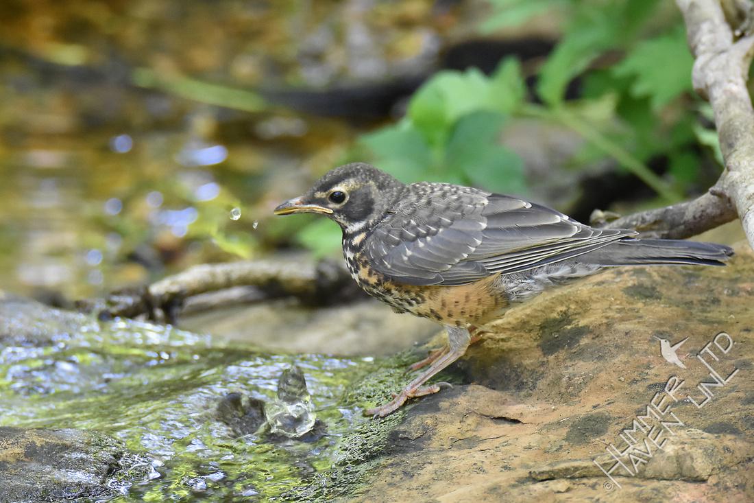 Fledgling American Robin 5-13-17