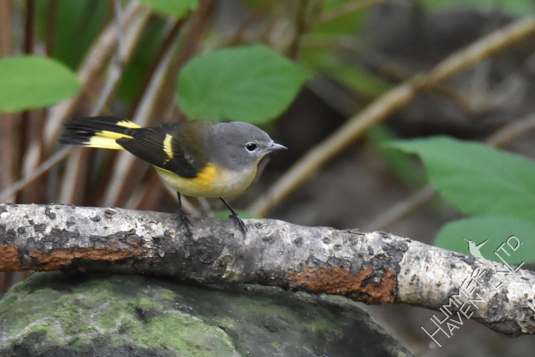 American Redstart 1st Fall male 9-13-17