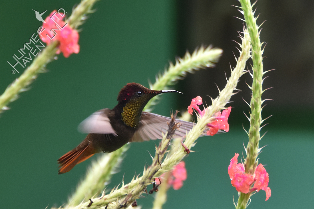 Ruby-topaz Hummingbird 1-31-18
