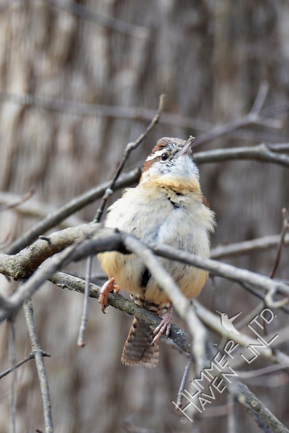 Carolina Wren male south woods 3-16-17