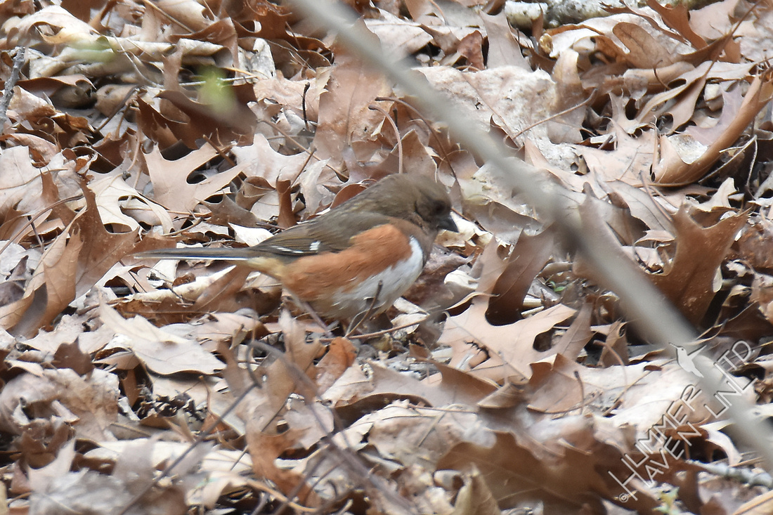 Eastern Towhee female 4-6-18