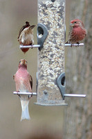 Purple Finch, lower left, House Finches above