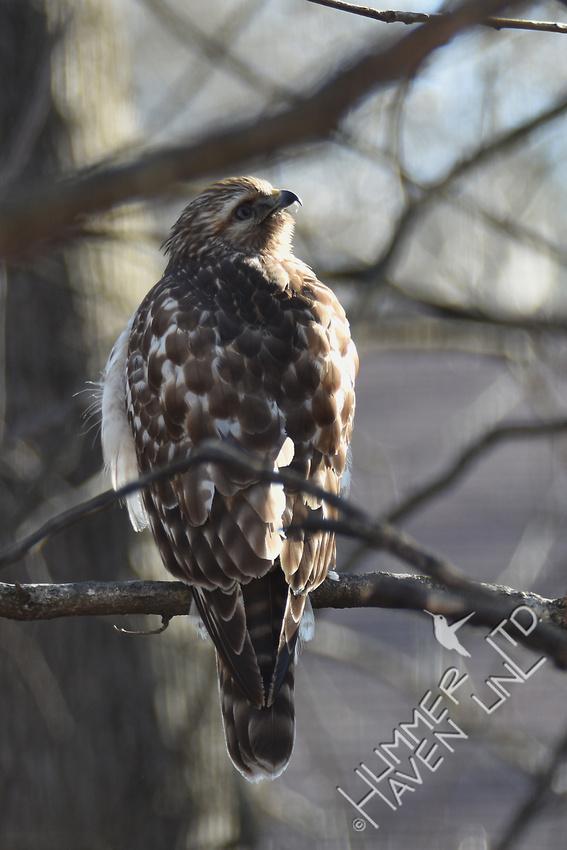 Red-shouldered Hawk juvenile 2-5-17