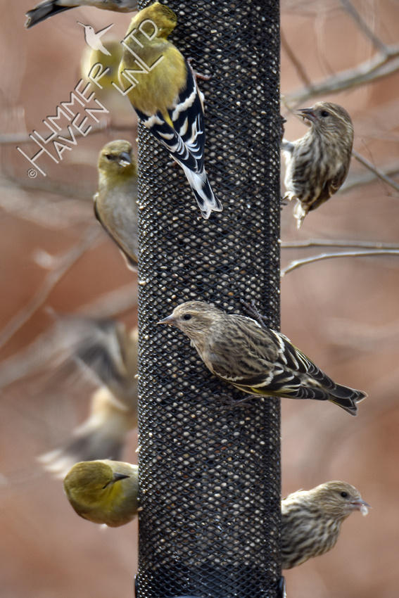 American Goldfinches and Pine Siskins  12-10-17